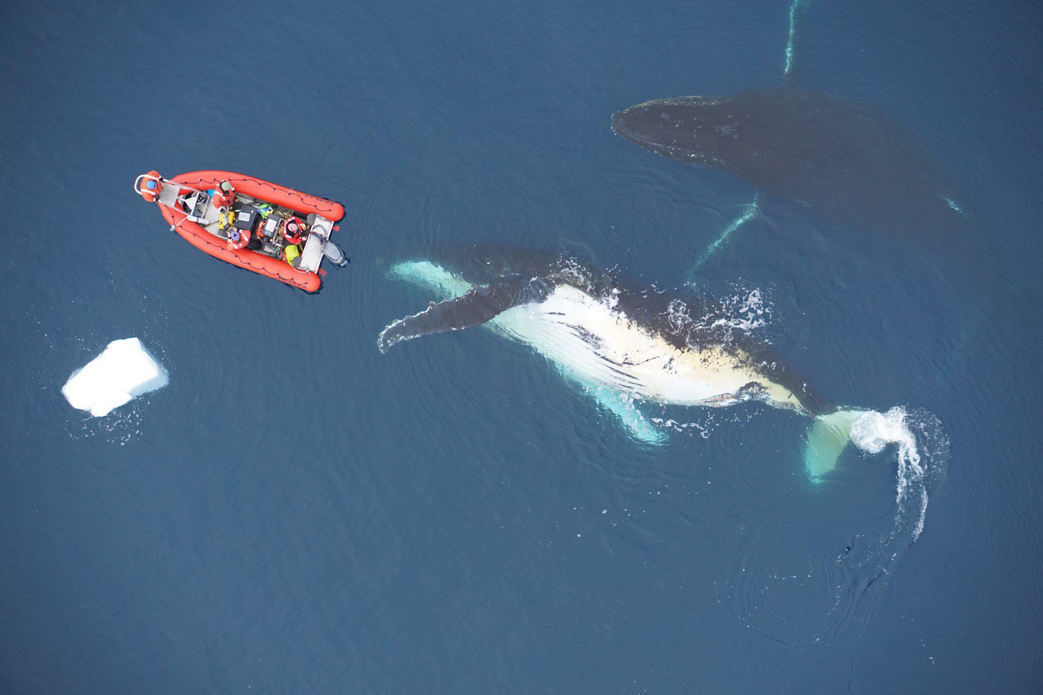 Bild zu Grenzen des Wachstums: Warum werden Wale nicht noch größer?