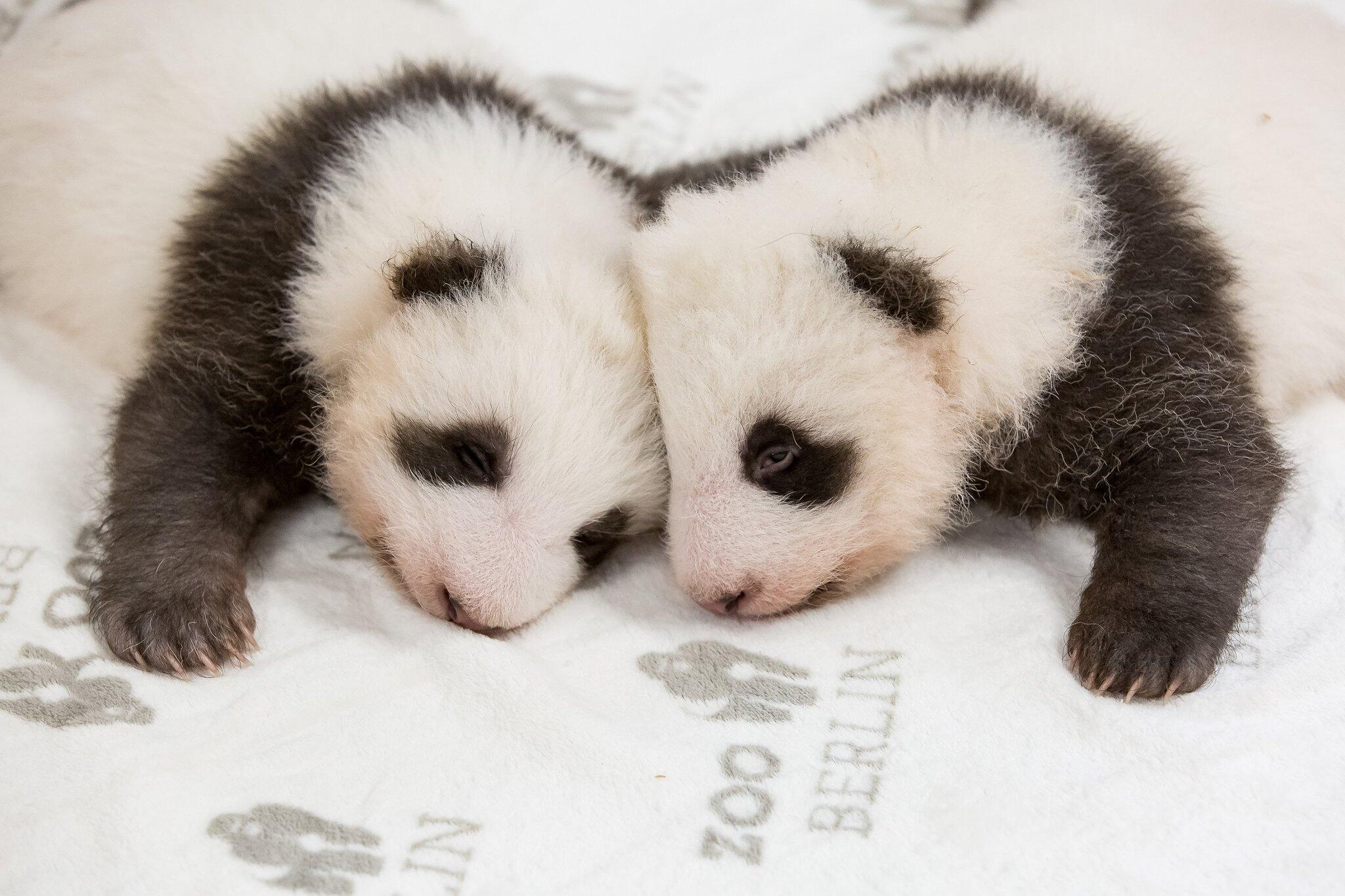 Bild zu Berliner Panda-Zwillinge kuscheln zum ersten Mal miteinander