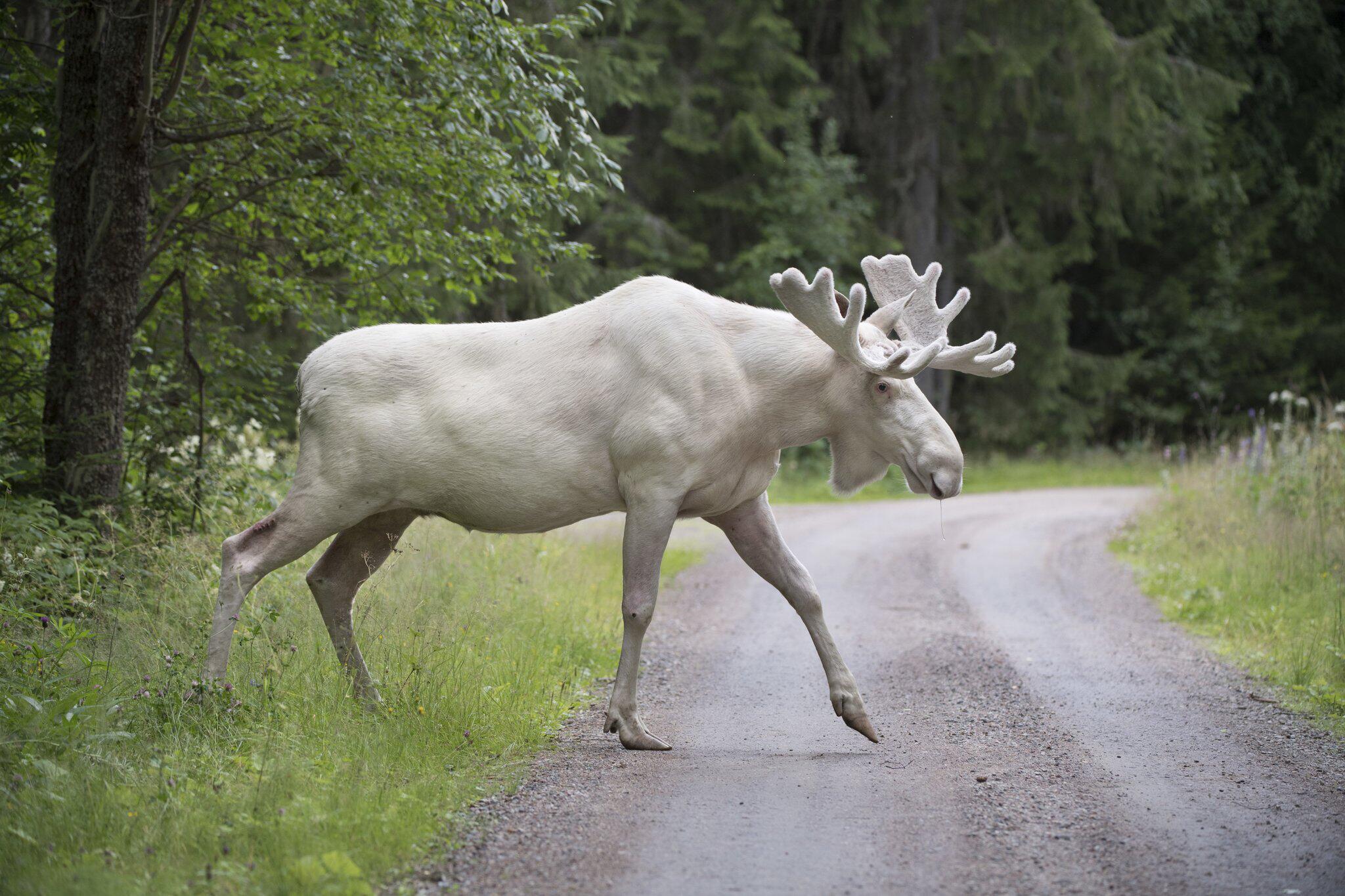 Bild zu Weißer Elch in Schweden gesichtet