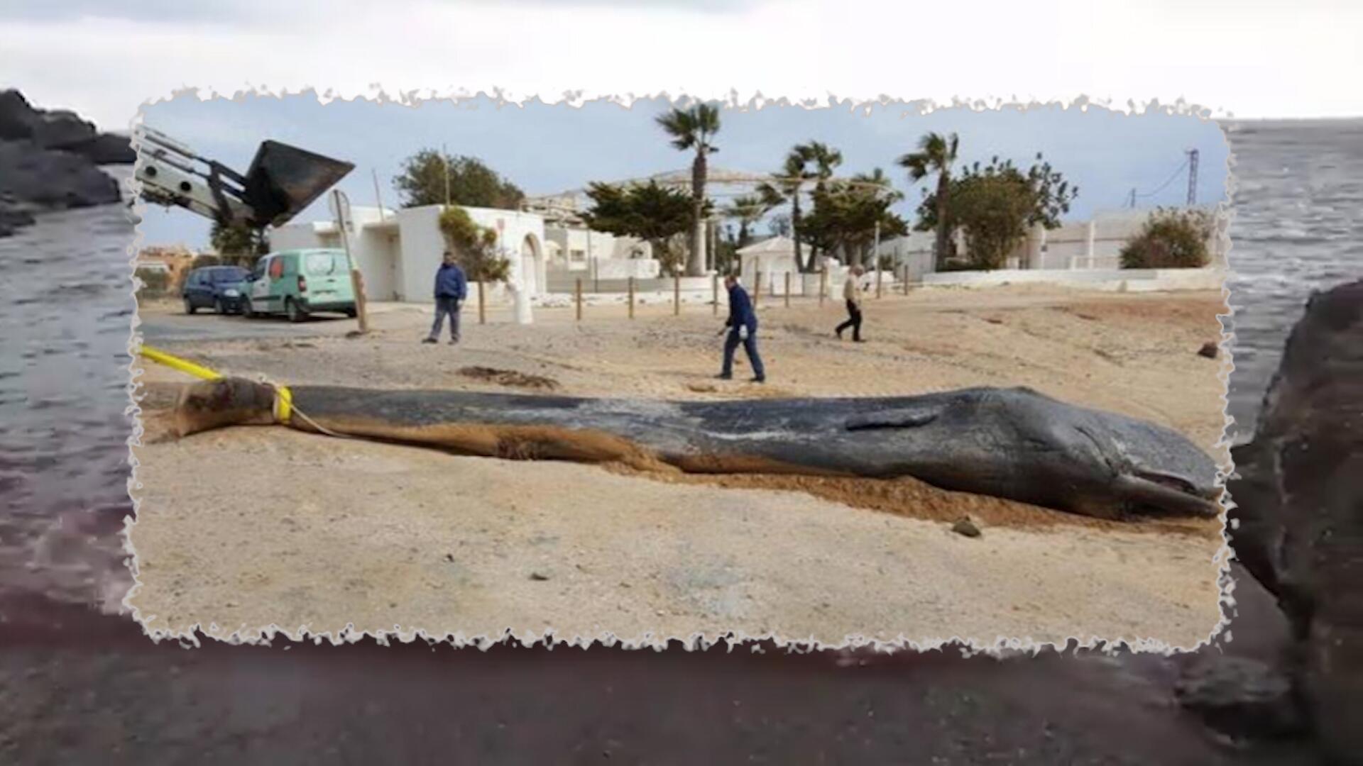 Bild zu Angespült: Toter Wal hatte 30 Kilo Müll im Bauch