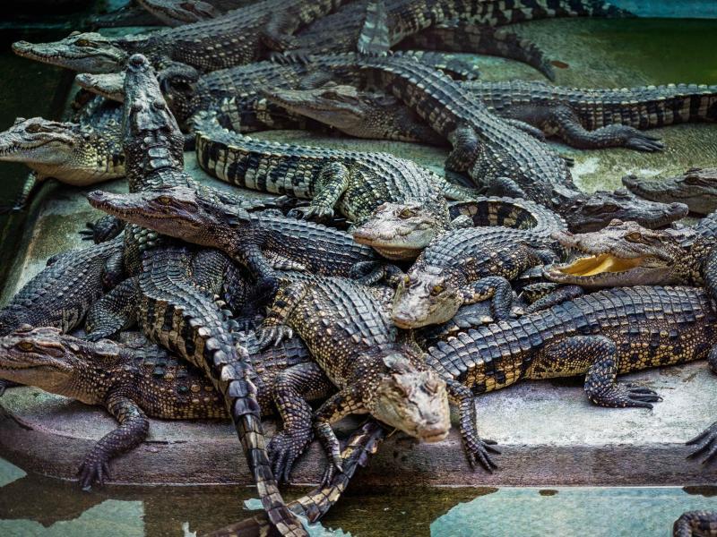 Bild zu Krokodile