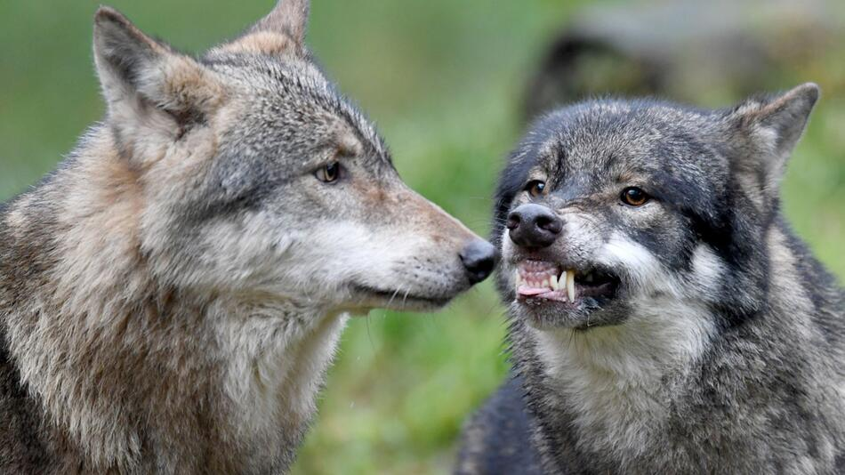 Wolf Janosch stirbt nach Beißerei mit Bruder Alexander