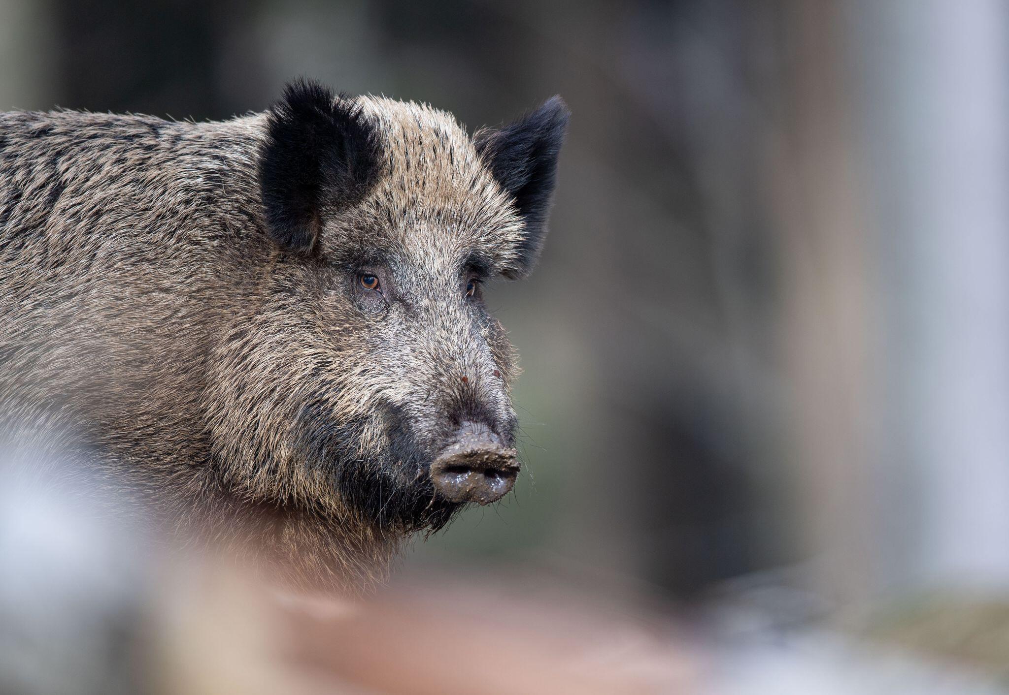 Bild zu Afrikanische Schweinepest in Deutschland angekommen