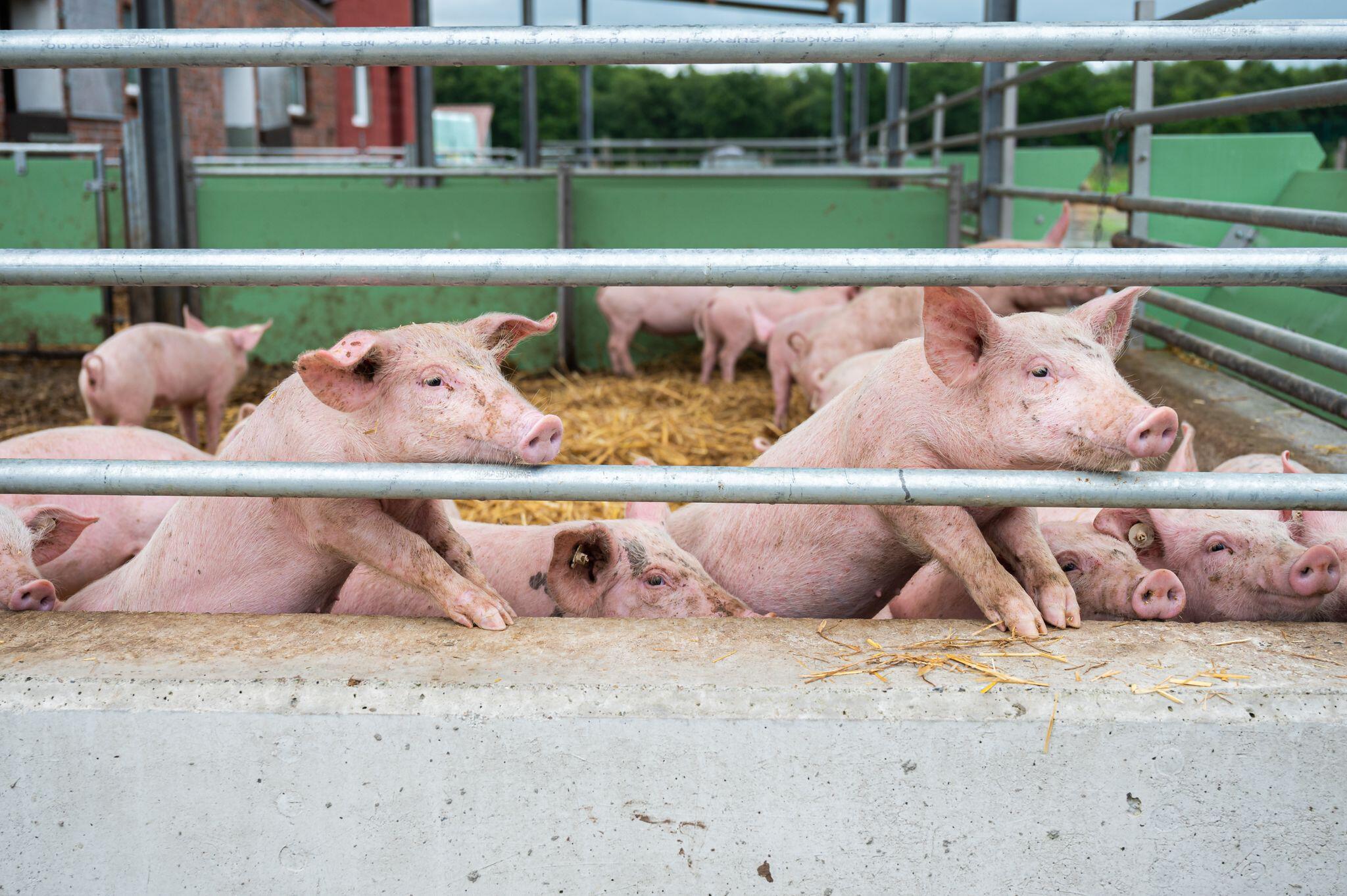 Bild zu Schweinehalter in Niedersachsen in Sorge