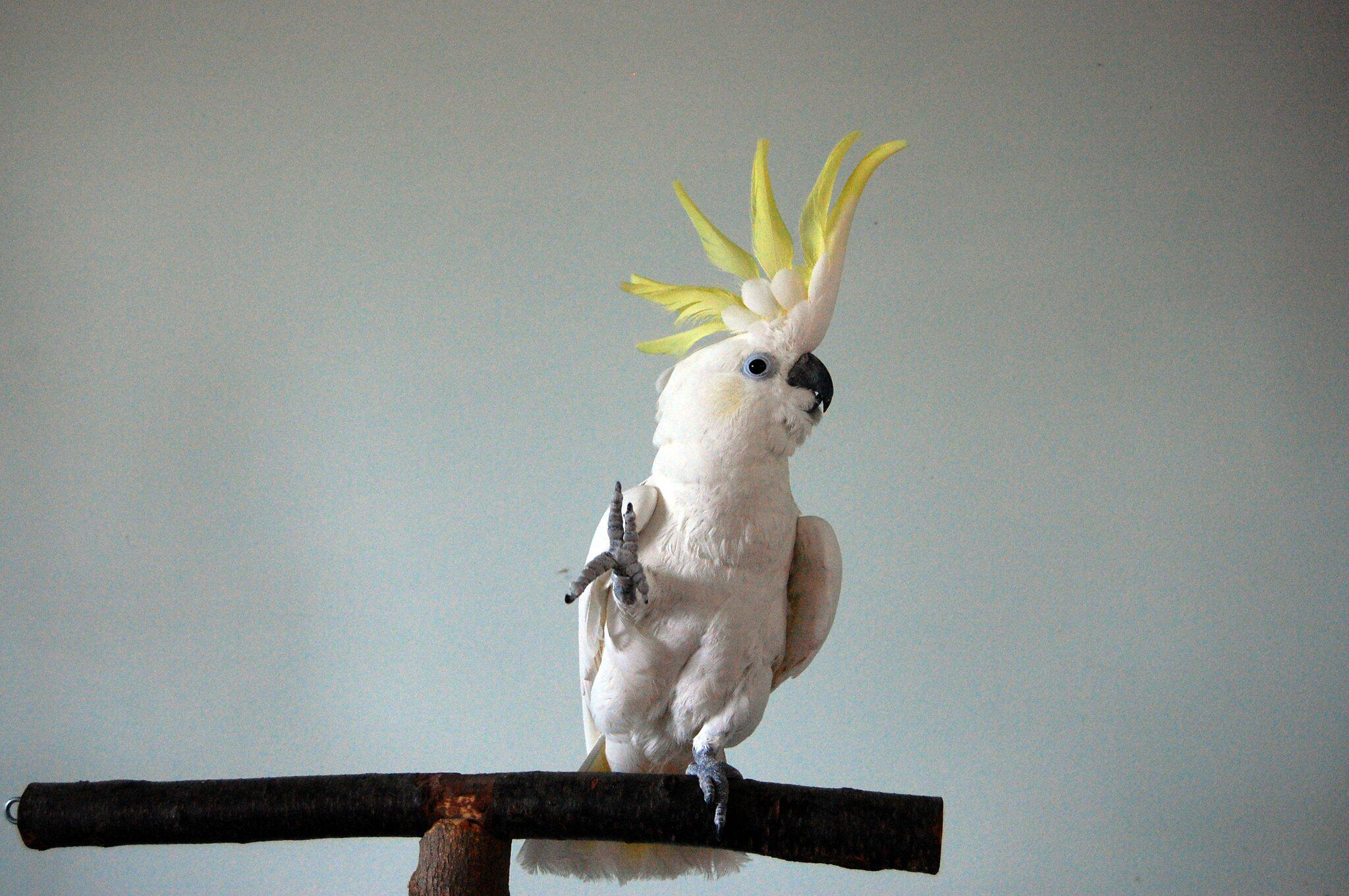 Bild zu Tanzender Kakadu Snowball