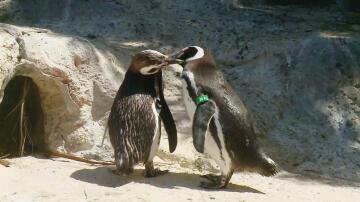 Bild zu Pinguine