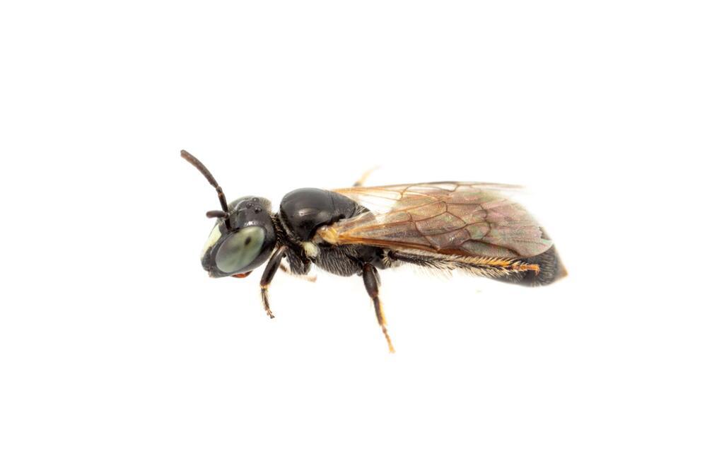 """Seit 100 Jahren verschollene Bienenart """"Pharohylaeus lactiferus"""" in Australien entdeckt"""