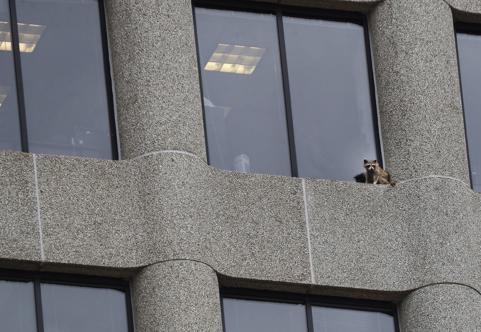 Bild zu Waschbär klettert auf Hochhaus in der USA