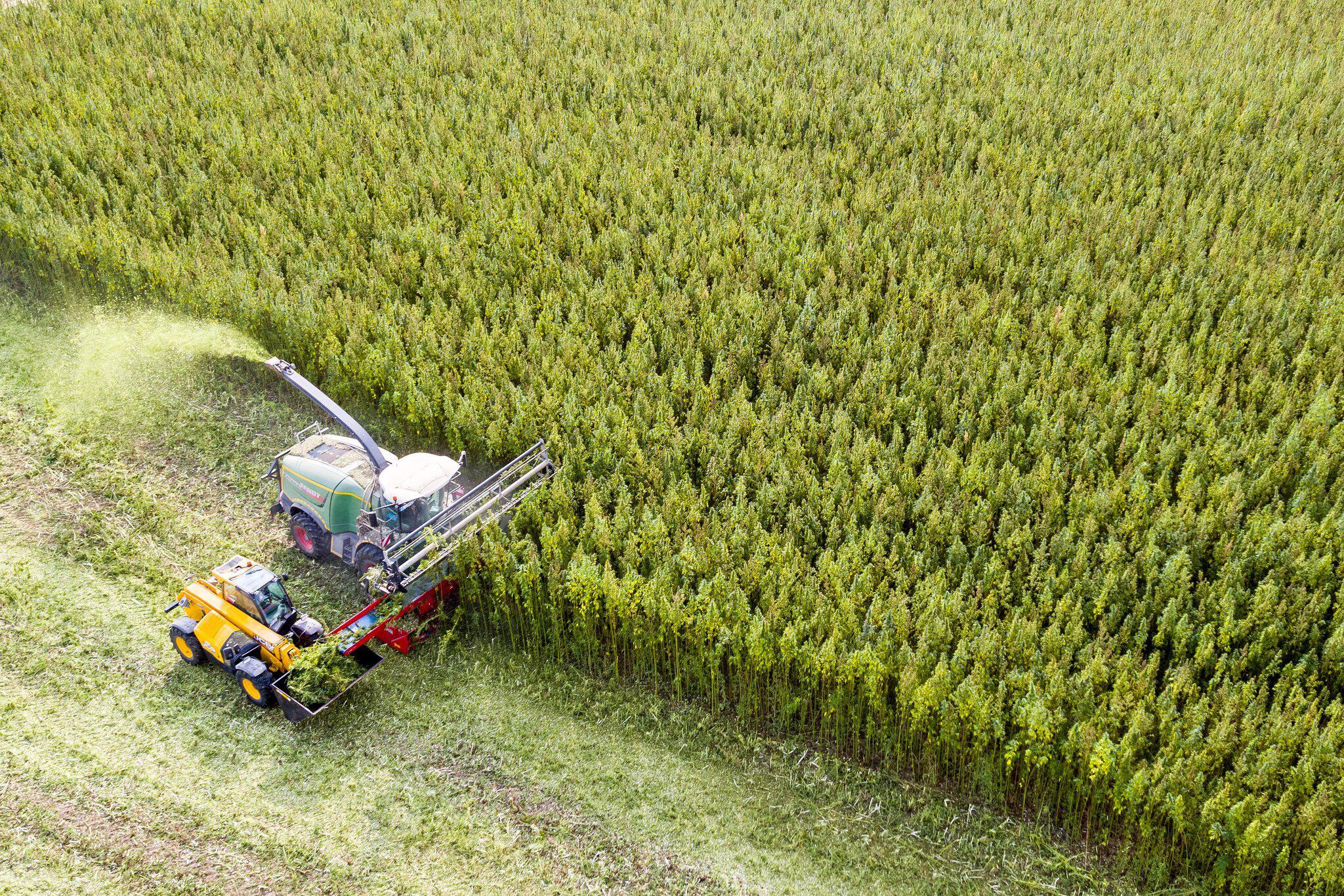 Bild zu Cannabis harvest in Saxony