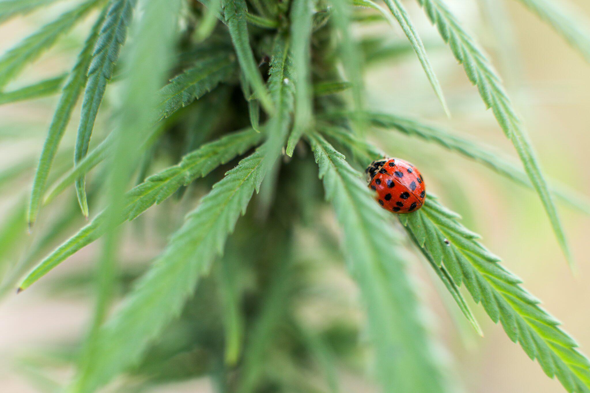 Bild zu Cannabis-Ernte in Sachsen