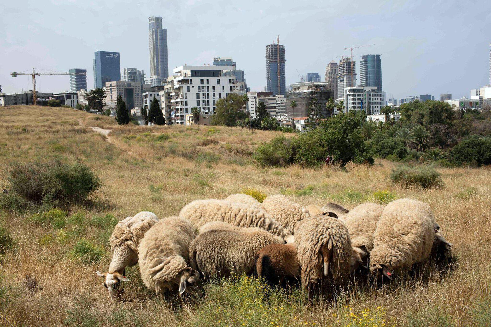 Bild zu Schafe sollen Tel Aviv zu blühen bringen