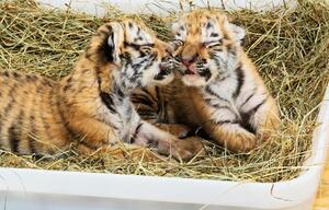 Tigerbabys aus Privathaushalt gerettet