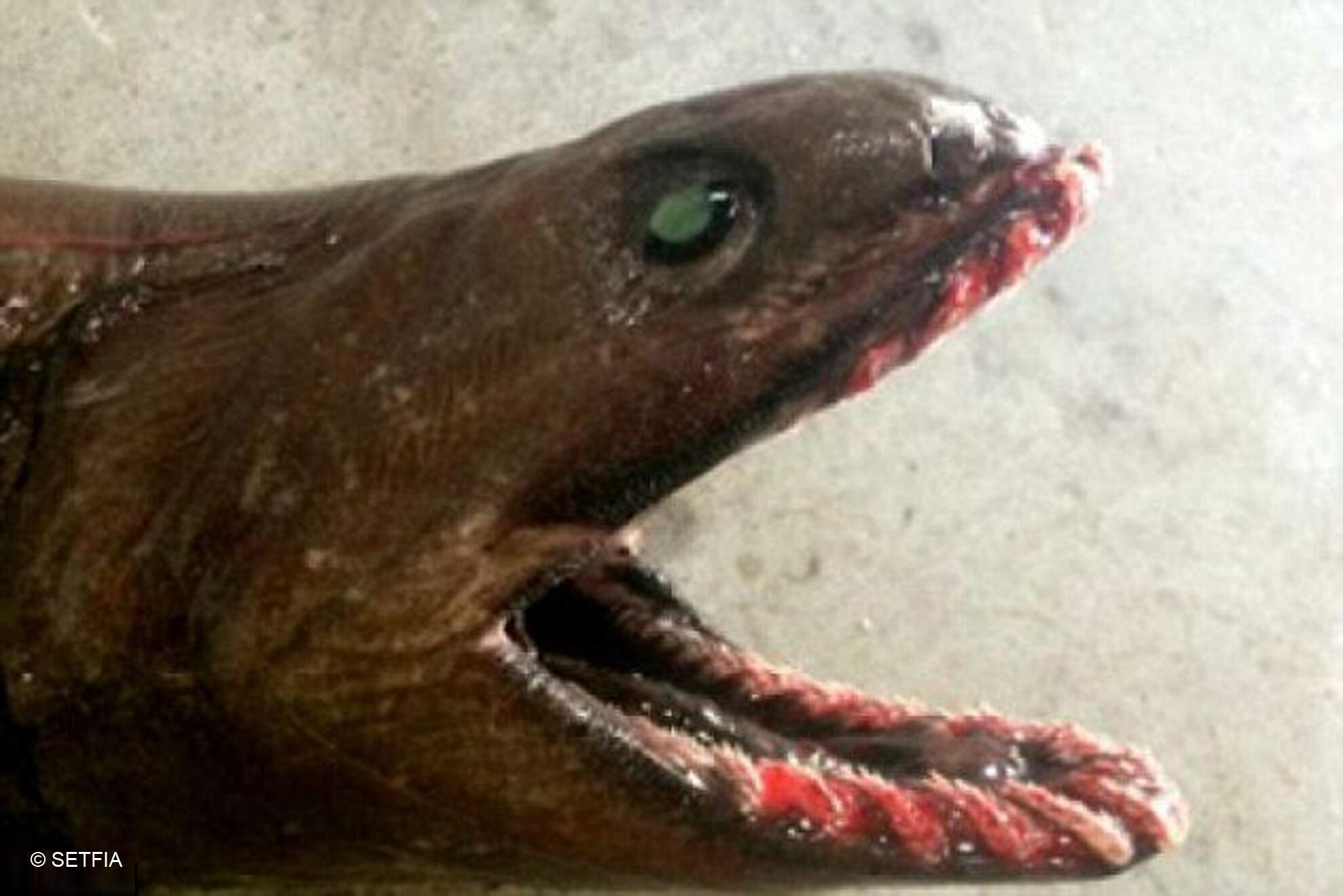 Bild zu Prähistorischer Kragenhai