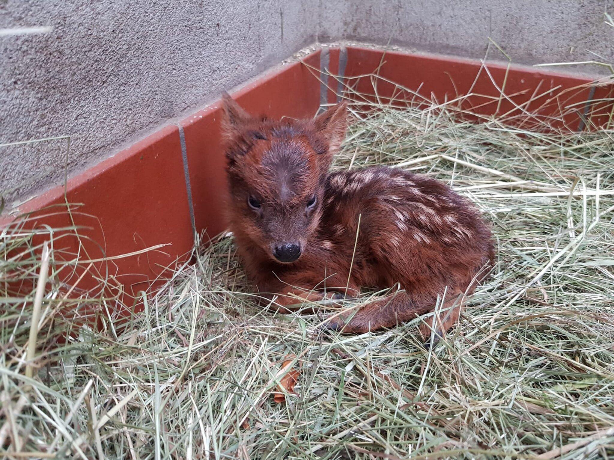 Bild zu Südliches Pudu-Kitz im Dortmunder Zoo geboren