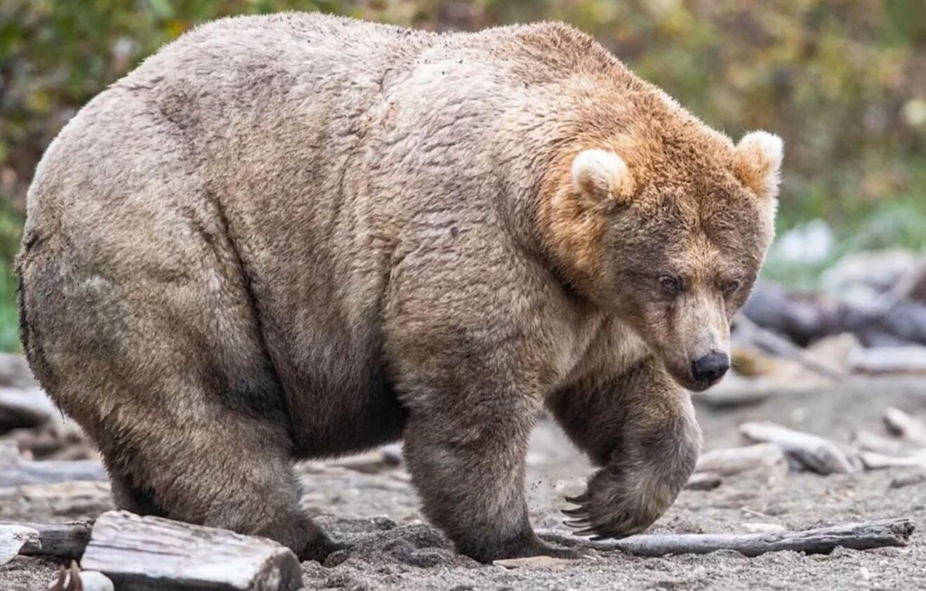 Bild zu Fetter Bär