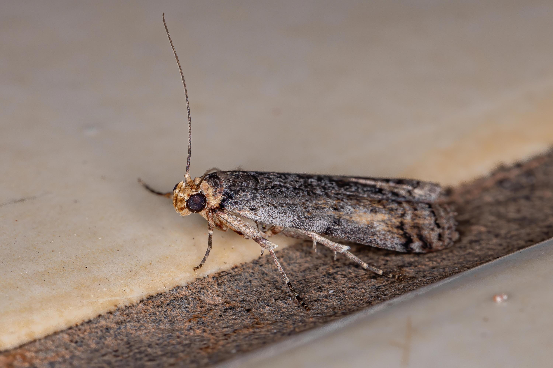 Bild zu Die Phycitinae gehört zur großen Unterfamilie der Zünsler.