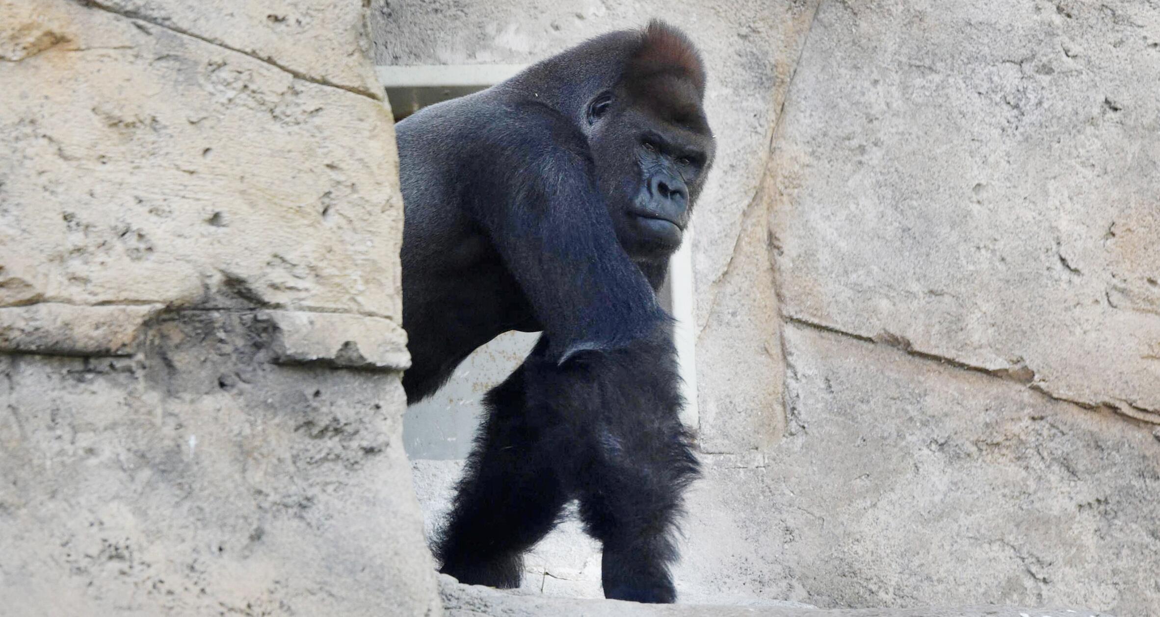 """Bild zu Gorilla-Männchen """"Malabo"""" aus dem Zoo in Madrid."""
