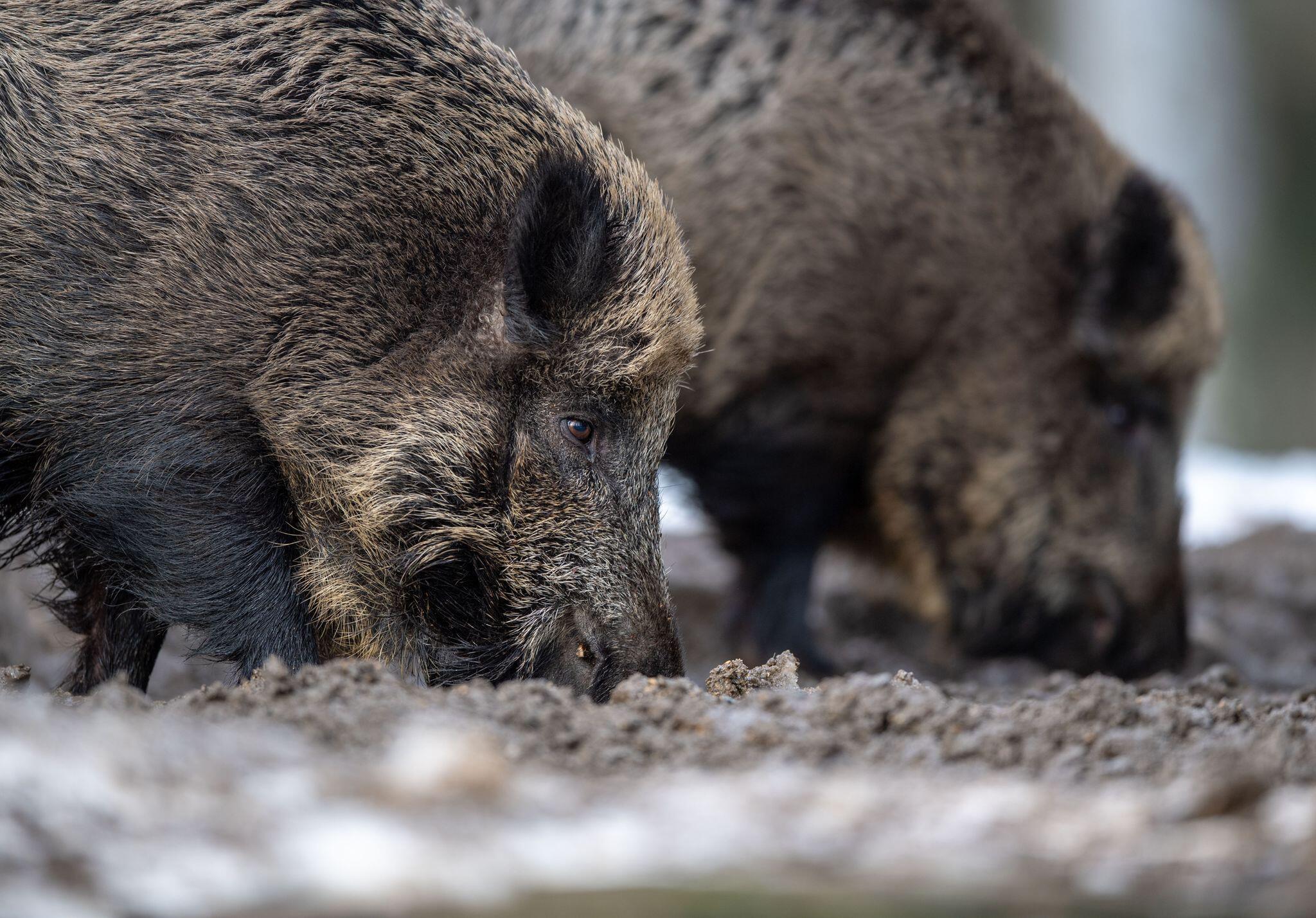 Bild zu Agrarversicherer: Wahrscheinlich mehr als ein Tier infiziert