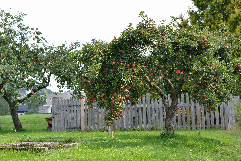 Bild zu Apfelbaum