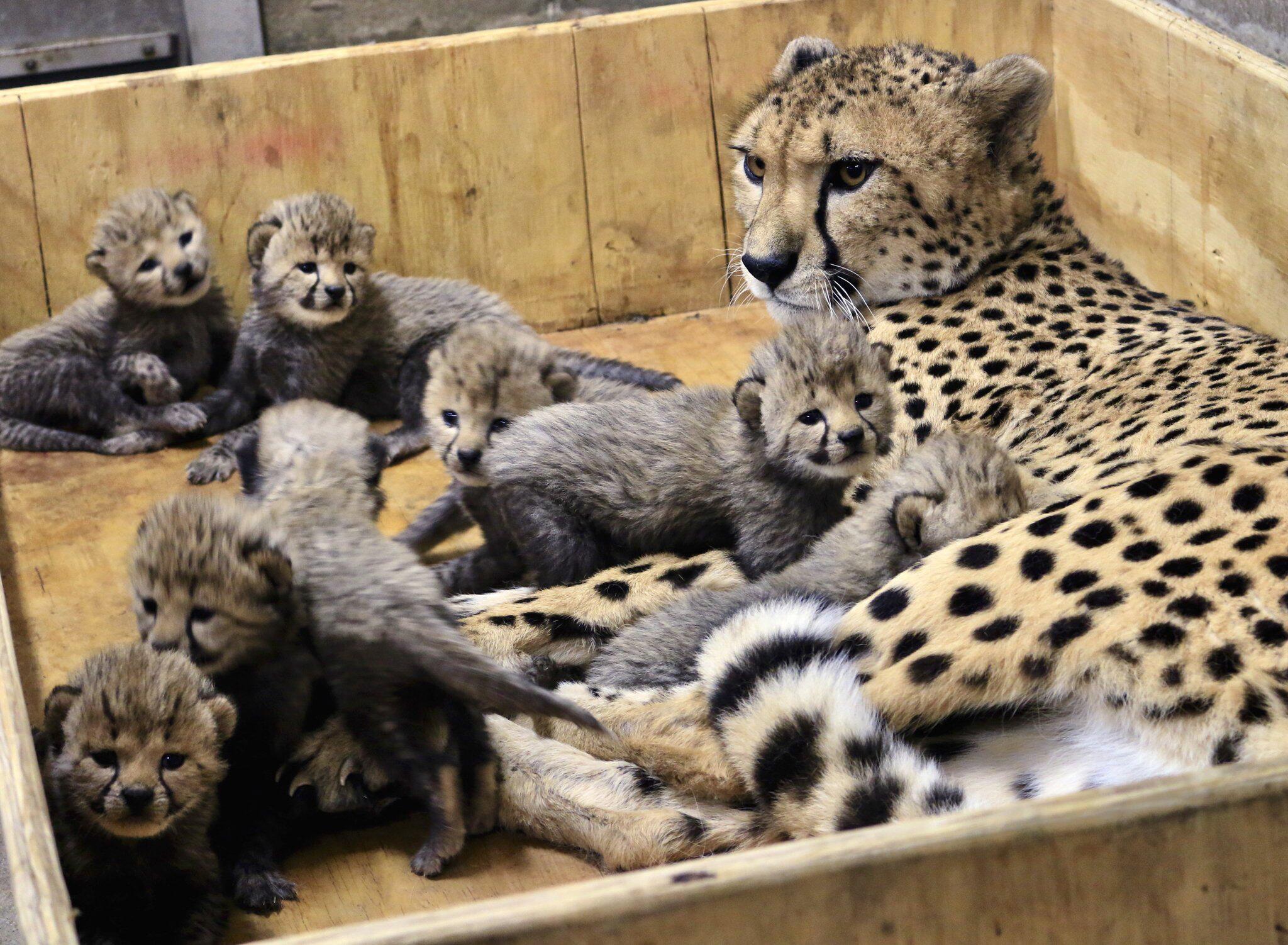 Bild zu Gepardendame, Gepardin, Bingwa, acht Junge, Gepardenbabys
