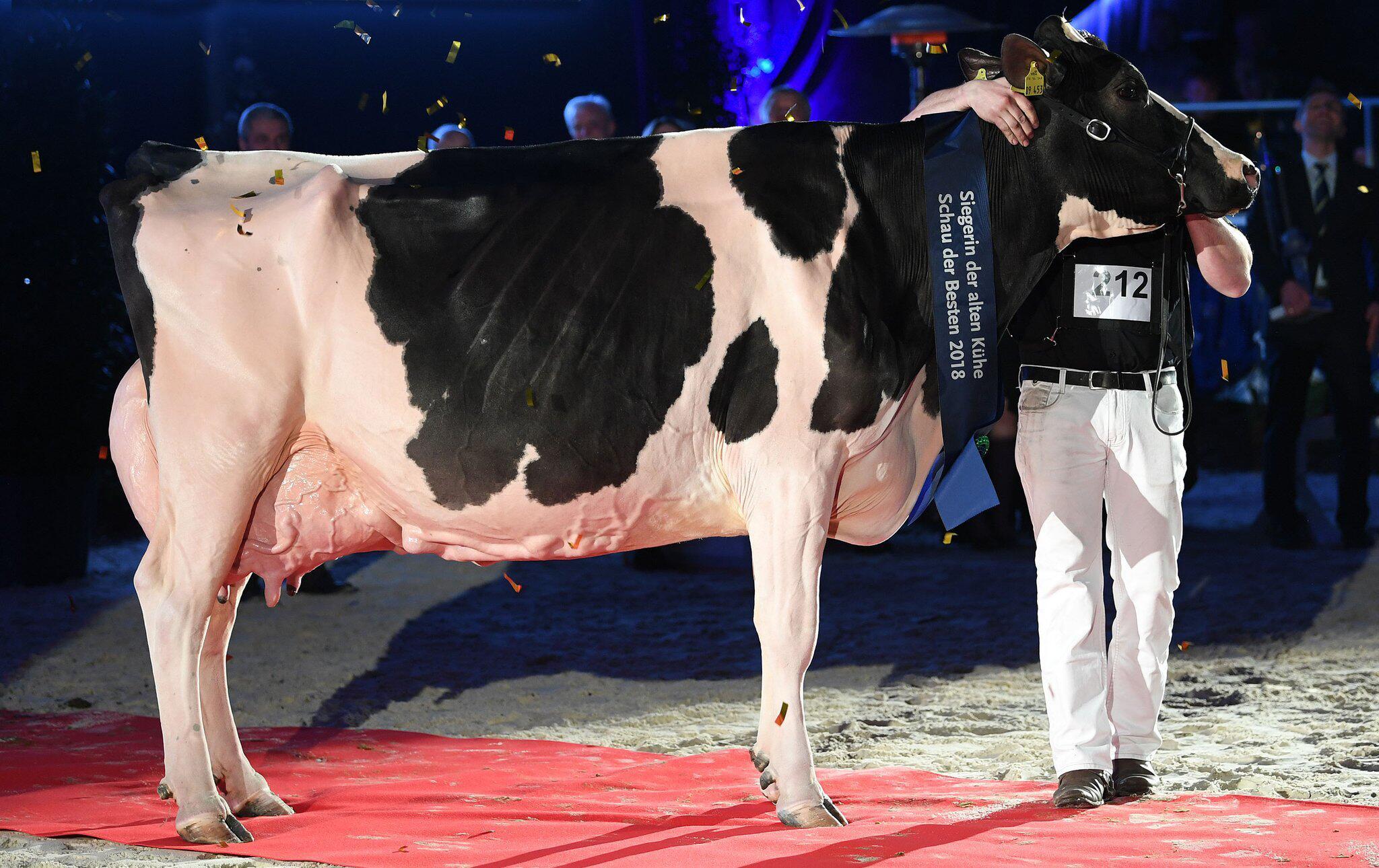 Bild zu Die schönste Kuh «Lady Gaga» ist tot
