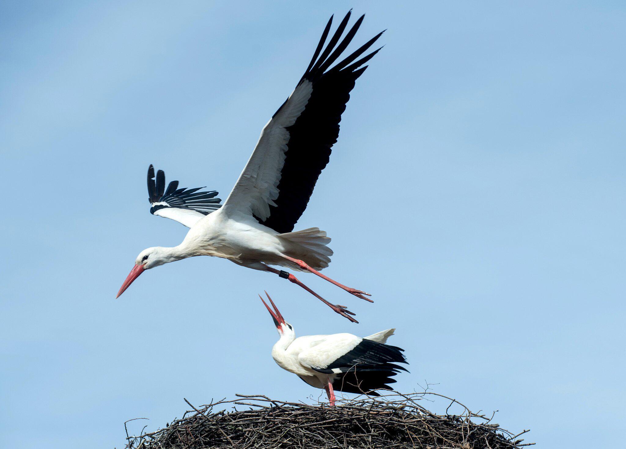 Bild zu Stork Fridolin misses partner Friederike