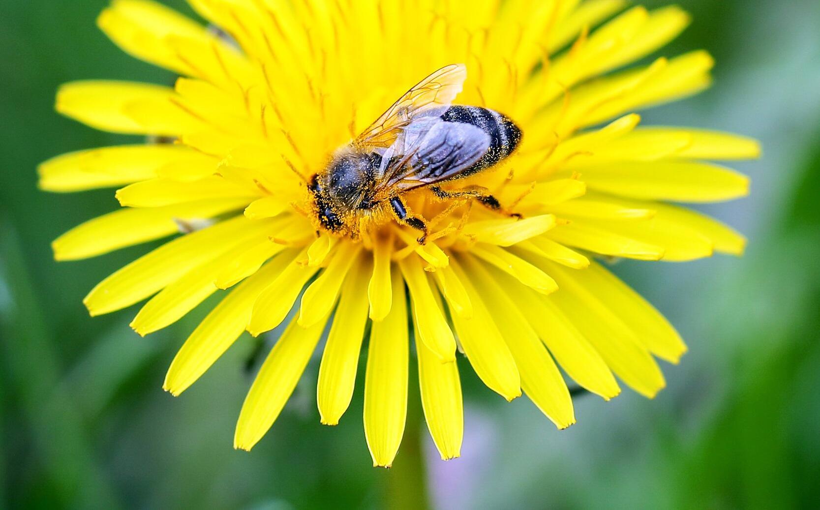 Bild zu Wildbiene