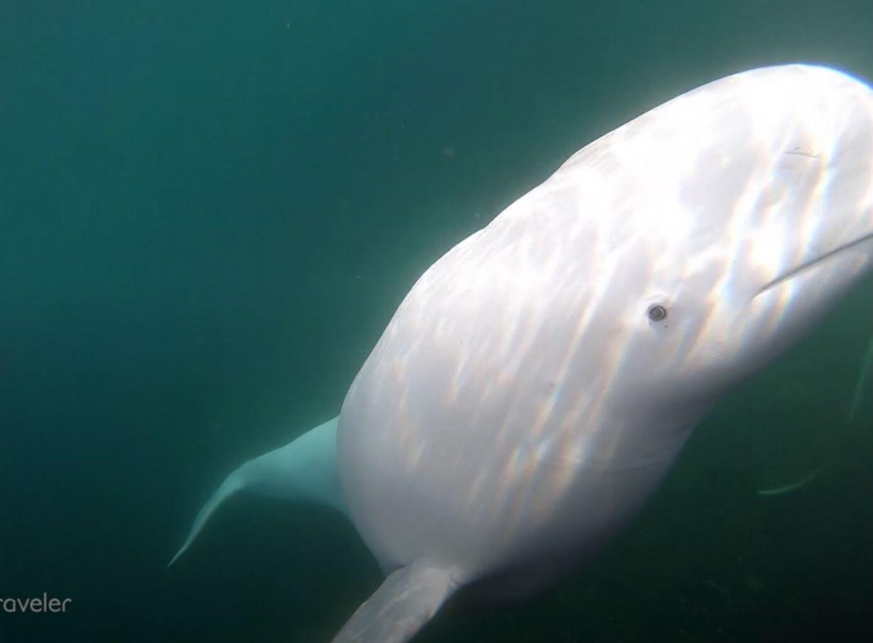 Bild zu Belugawal