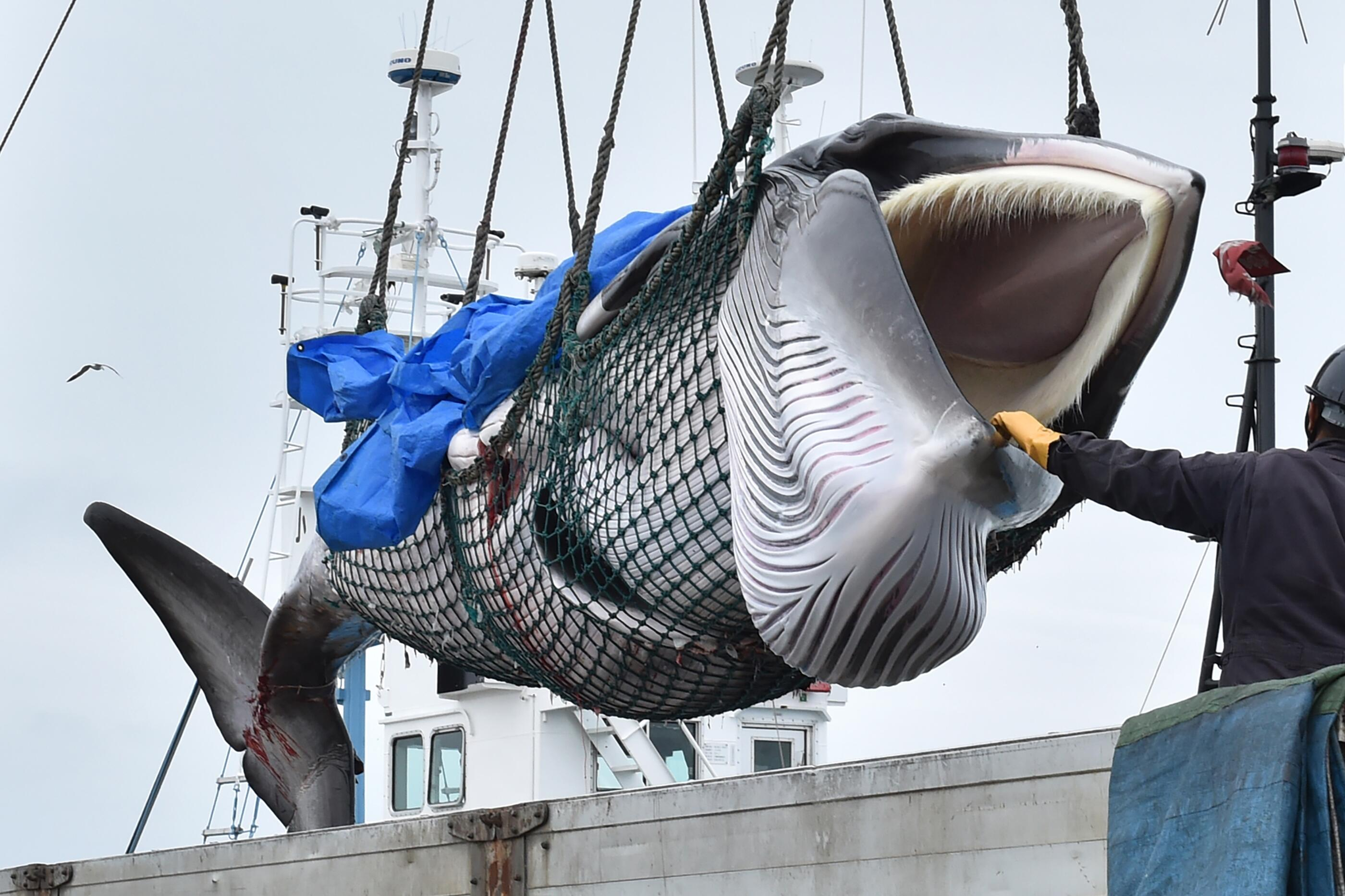 Bild zu Wal, Walfang, Japan, Kushiro, Hokkaido, Minkwal
