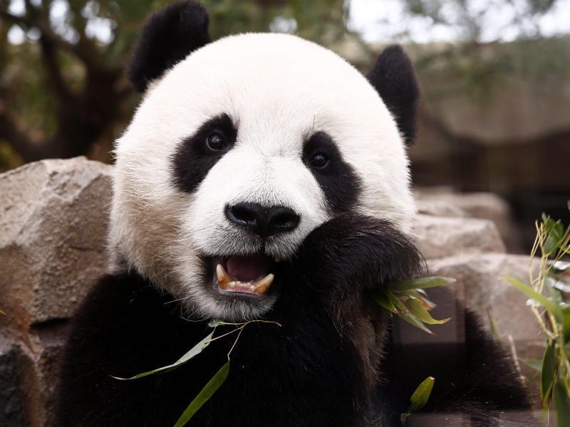 Bild zu Panda