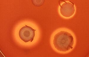 Serratia-Bakterien