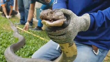 Bild zu Königskobra