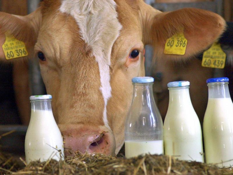 Bild zu Milchkuh