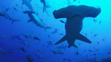 Bild zu Galapagos-Insel, Haie, Hammerhaie