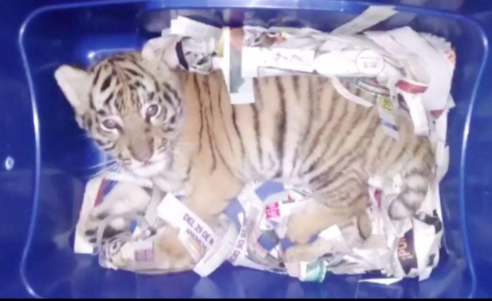 Bild zu Tigerbaby in der Post