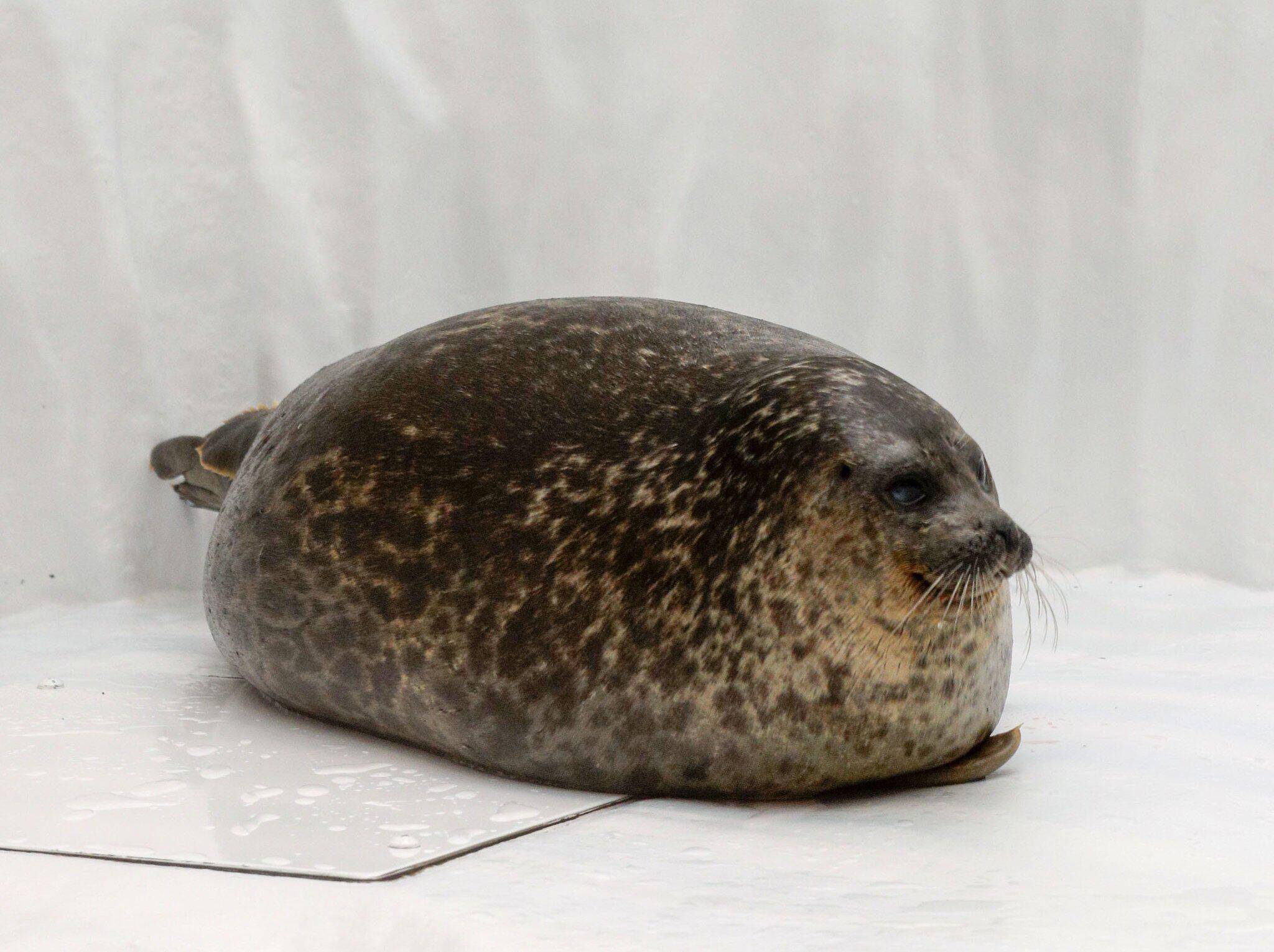Bild zu Mollige Robbe in Japan