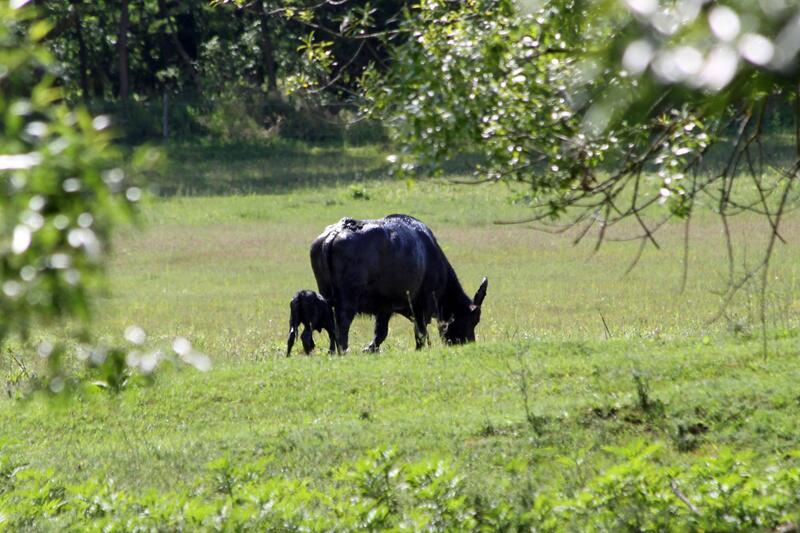 Bild zu Büffel