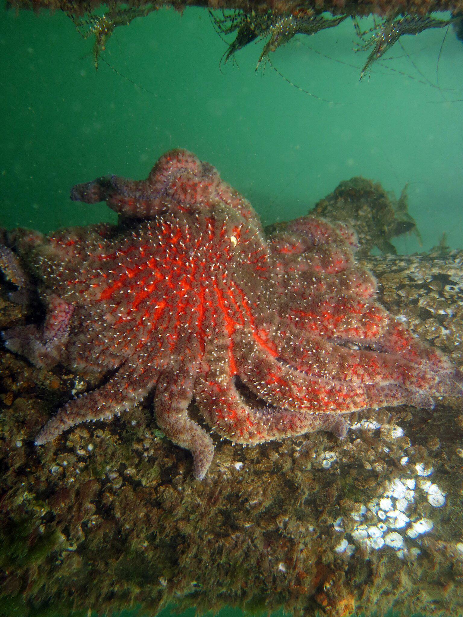Bild zu Gesunder Sonnenblumen-Seestern