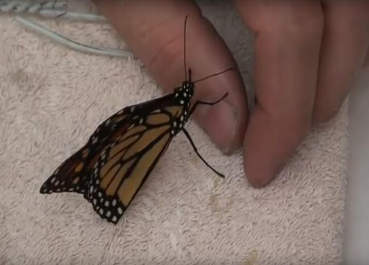 Bild zu So reparieren Sie einen Schmetterlingsflügel
