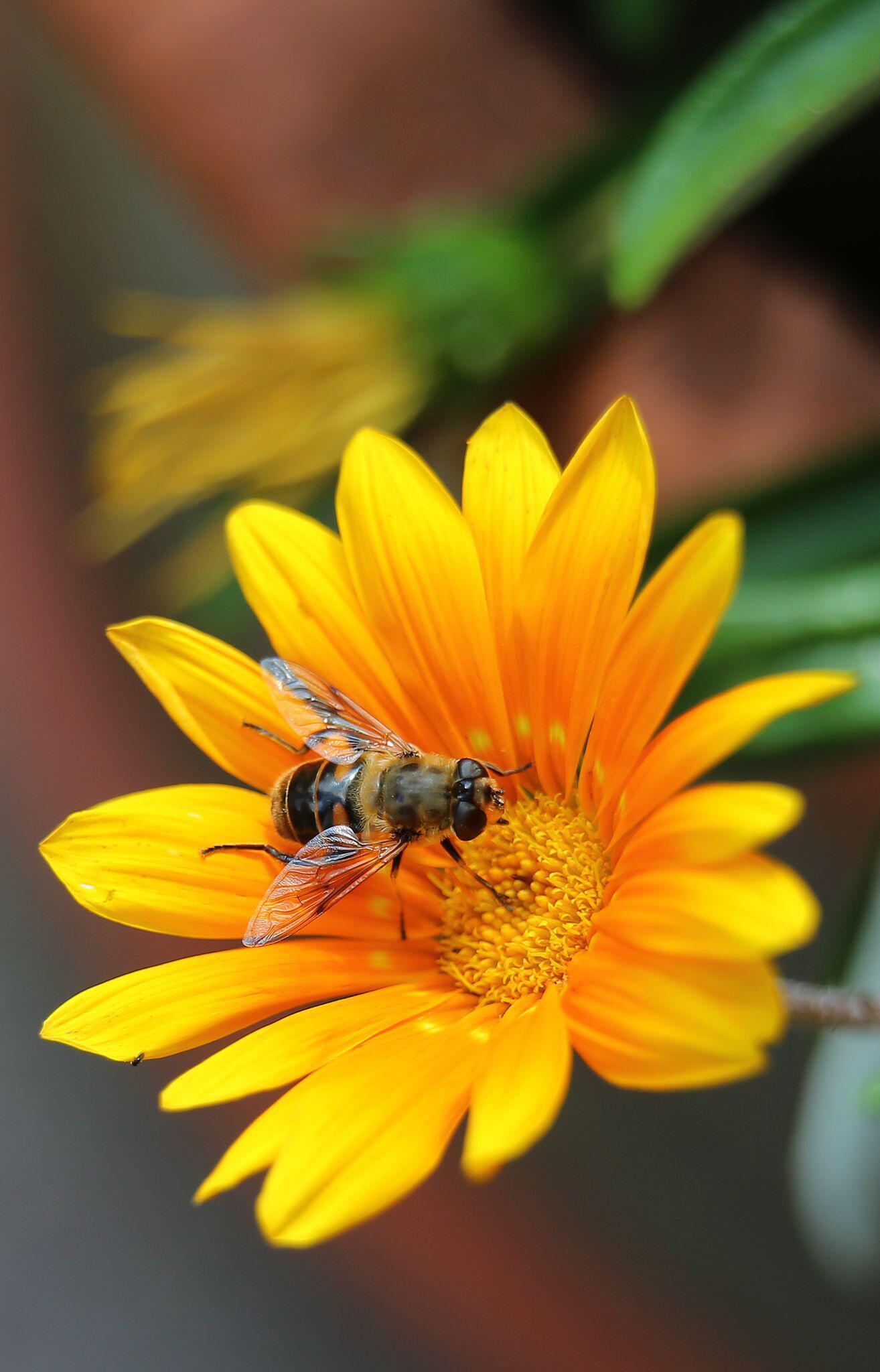Bild zu Wespe, Biene, Schwebefliege