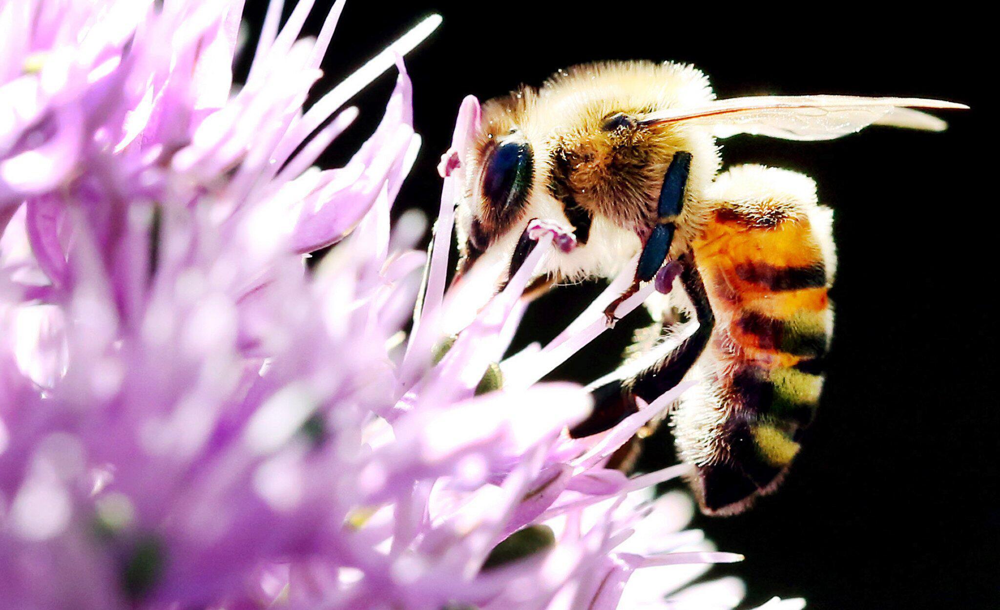 Bild zu Biene, Blüte, Allium, Zierlauch, Düsseldorf