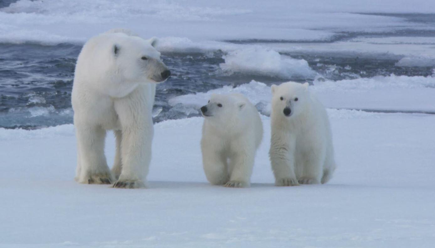 Bild zu Eisbären, Siedlungen, Klima