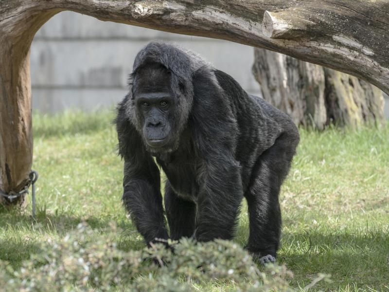 Bild zu Gorilladame Fatou