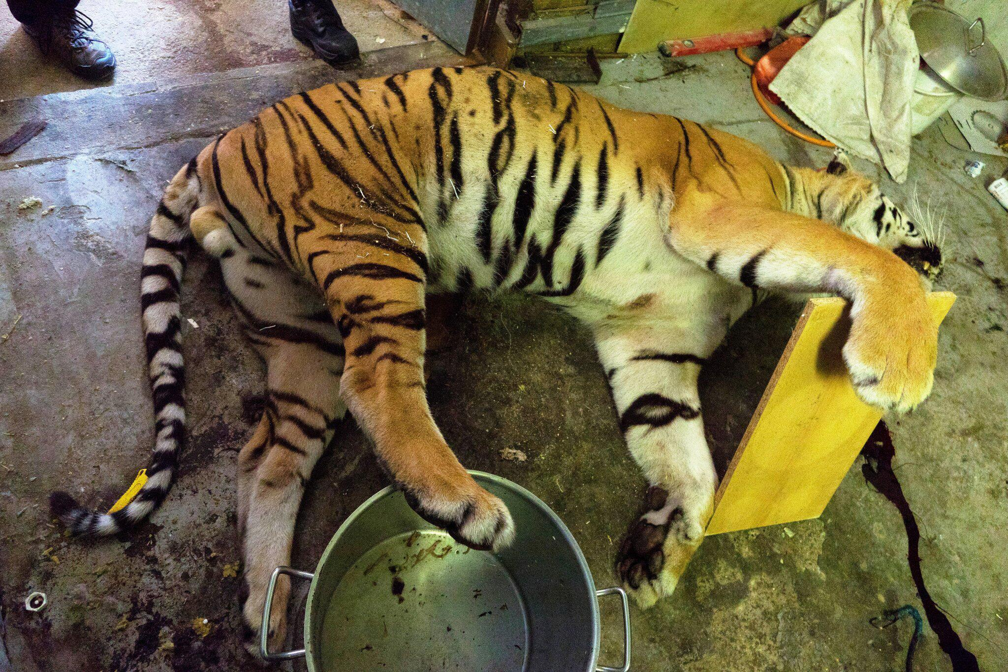 Bild zu Geschäfte mit Tigern und Löwen in Tschechien