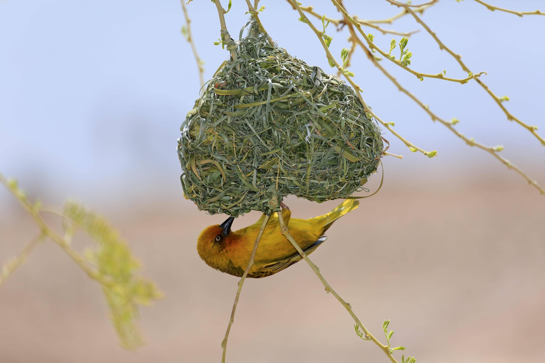 Bild zu Webervogel