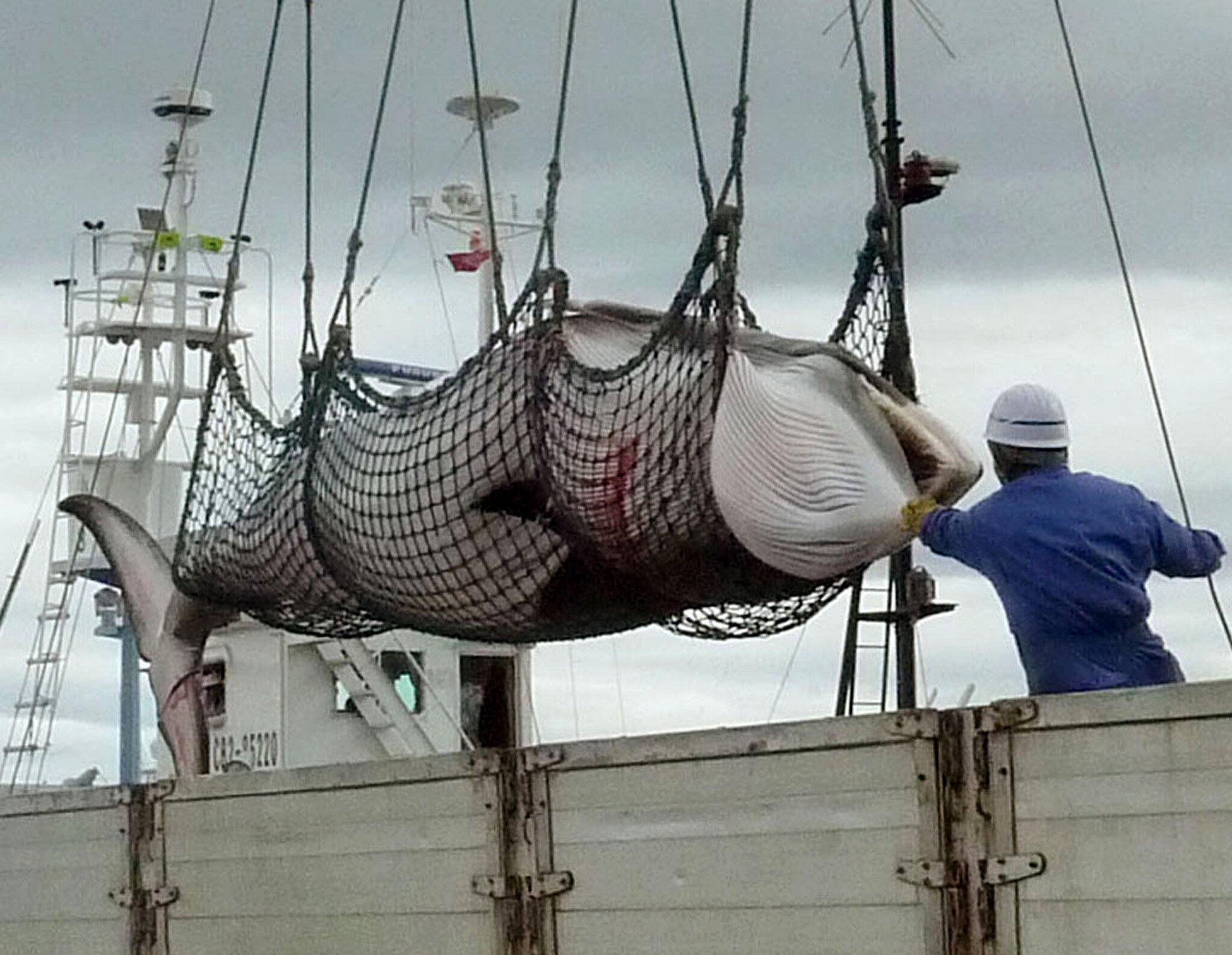 Bild zu Japan tritt aus Internationaler Walfangkommission aus
